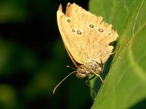 Άσπρη πεταλούδα Στοκ εικόνες με δικαίωμα ελεύθερης χρήσης