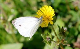 Άσπρη πεταλούδα Στοκ Εικόνα