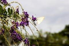 Άσπρη πεταλούδα Στοκ Φωτογραφίες