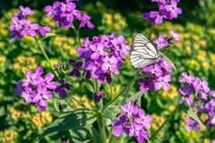 Άσπρη πεταλούδα Στοκ Εικόνες