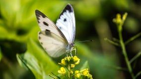 Άσπρη πεταλούδα Στοκ εικόνα με δικαίωμα ελεύθερης χρήσης
