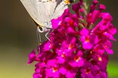 Άσπρη πεταλούδα Hairstreak Στοκ Φωτογραφίες