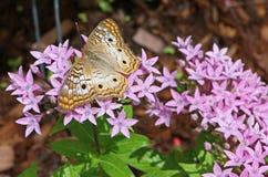 Άσπρη πεταλούδα Peacock Στοκ Εικόνες