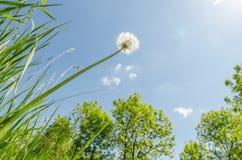 Άσπρη πικραλίδα μετά από να ανθίσει στην πράσινους κινηματογράφηση σε πρώτο πλάνο και τον ήλιο χλόης Στοκ εικόνες με δικαίωμα ελεύθερης χρήσης
