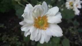Άσπρη πολύ συμπαθητική φύση λουλουδιών Στοκ φωτογραφίες με δικαίωμα ελεύθερης χρήσης
