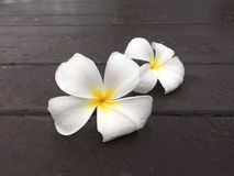 Άσπρη πτώση λουλουδιών frangipani ζεύγους στο ξύλινο πεζούλι στοκ εικόνα