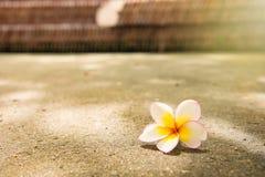 Άσπρη πτώση λουλουδιών plumeria κινηματογραφήσεων σε πρώτο πλάνο στο τσιμεντένιο πάτωμα blackground Στοκ εικόνα με δικαίωμα ελεύθερης χρήσης