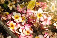 Άσπρη πτώση λουλουδιών plumeria κινηματογραφήσεων σε πρώτο πλάνο στο τσιμεντένιο πάτωμα blackground Στοκ Φωτογραφία