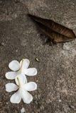 Άσπρη πτώση λουλουδιών στο έδαφος Στοκ φωτογραφίες με δικαίωμα ελεύθερης χρήσης