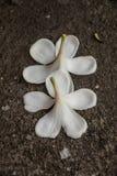 Άσπρη πτώση λουλουδιών στο έδαφος Στοκ Εικόνες