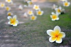Άσπρη πτώση λουλουδιών στο μονοπάτι ενάντια ανασκόπησης μπλε σύννεφων πεδίων άσπρο σε wispy ουρανού φύσης χλόης πράσινο Στοκ φωτογραφία με δικαίωμα ελεύθερης χρήσης