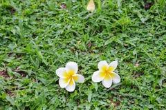 Άσπρη πτώση λουλουδιών Plumeria στη χλόη πράσινη Στοκ εικόνες με δικαίωμα ελεύθερης χρήσης