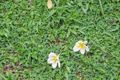 Άσπρη πτώση λουλουδιών Plumeria στη χλόη πράσινη Στοκ Φωτογραφίες