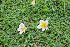 Άσπρη πτώση λουλουδιών Plumeria στη χλόη πράσινη Στοκ φωτογραφία με δικαίωμα ελεύθερης χρήσης