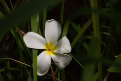Άσπρη πτώση λουλουδιών plumeria στη χλόη Στοκ φωτογραφίες με δικαίωμα ελεύθερης χρήσης