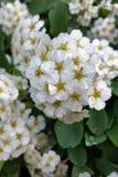 Άσπρη πυράκτωση λουλουδιών Στοκ φωτογραφία με δικαίωμα ελεύθερης χρήσης