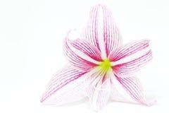 Άσπρη ρόδινη φωτογραφία κινηματογραφήσεων σε πρώτο πλάνο λουλουδιών κρίνων Floral θηλυκό πρότυπο εμβλημάτων στοκ φωτογραφία με δικαίωμα ελεύθερης χρήσης