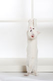 Άσπρη στάση γατακιών Στοκ φωτογραφία με δικαίωμα ελεύθερης χρήσης