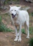 Άσπρη στάση λύκων Στοκ Εικόνες
