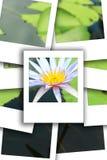 Άσπρη στιγμιαία φωτογραφία Lotus Στοκ Φωτογραφία
