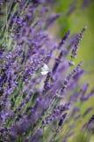 Άσπρη συνεδρίαση πεταλούδων ιώδες lavender στοκ φωτογραφίες