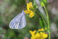 Άσπρη συνεδρίαση πεταλούδων σε ένα λουλούδι, κινηματογράφηση σε πρώτο πλάνο στοκ εικόνα