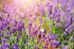 Άσπρη συνεδρίαση πεταλούδων lavender στο λουλούδι Στοκ Εικόνες