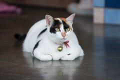Άσπρη συνεδρίαση γατών στο πάτωμα Στοκ Εικόνες
