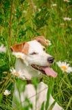 Άσπρη συνεδρίαση σκυλιών στη χλόη Στοκ φωτογραφίες με δικαίωμα ελεύθερης χρήσης