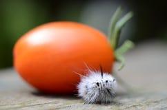 Άσπρη σφαίρα καμπιών σκώρων τουφών χόρτου άσπρων καρυδιών με την ντομάτα Στοκ φωτογραφία με δικαίωμα ελεύθερης χρήσης