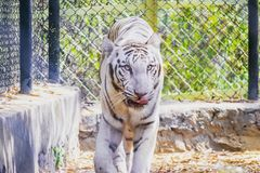 Άσπρη τίγρη στοκ φωτογραφίες