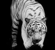 Άσπρη τίγρη, πορτρέτο μιας τίγρης της Βεγγάλης Στοκ Φωτογραφίες