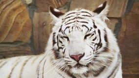 Άσπρη τίγρη που ασθμαίνει από τη θερμότητα απόθεμα βίντεο