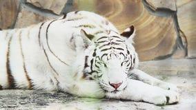 Άσπρη τίγρη που ασθμαίνει από τη θερμότητα φιλμ μικρού μήκους