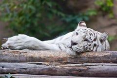 Άσπρη τίγρη που βρίσκεται στο ξύλο Στοκ φωτογραφία με δικαίωμα ελεύθερης χρήσης