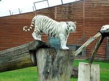 Άσπρη τίγρη σε ένα κούτσουρο Στοκ φωτογραφία με δικαίωμα ελεύθερης χρήσης
