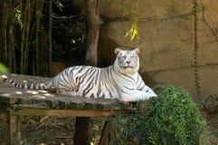 Άσπρη τίγρη στην πλατφόρμα Στοκ Φωτογραφία
