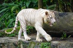 Άσπρη τίγρη στο ζωολογικό κήπο Σινγκαπούρης Στοκ Εικόνα