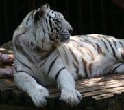 Άσπρη τίγρη στο ζωολογικό κήπο στοκ εικόνα