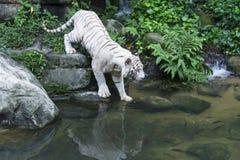 Άσπρη τίγρη της Βεγγάλης Στοκ φωτογραφία με δικαίωμα ελεύθερης χρήσης