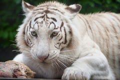 Άσπρη τίγρη της Βεγγάλης. Στοκ φωτογραφία με δικαίωμα ελεύθερης χρήσης