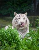 Άσπρη τίγρη της Βεγγάλης. Στοκ Εικόνες