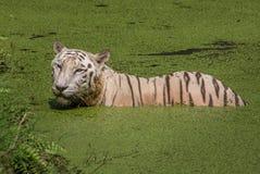 Άσπρη τίγρη της Βεγγάλης που καταδύεται στο νερό ενός έλους Στοκ Εικόνες