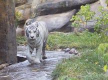 Άσπρη τίγρη της Βεγγάλης Στοκ Εικόνα