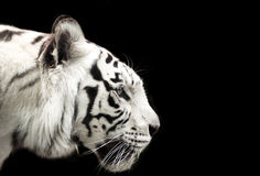 Άσπρη τίγρη της Βεγγάλης Στοκ Φωτογραφία