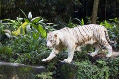 Άσπρη τίγρη της Βεγγάλης Στοκ φωτογραφίες με δικαίωμα ελεύθερης χρήσης
