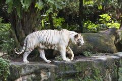 Άσπρη τίγρη της Βεγγάλης Στοκ εικόνες με δικαίωμα ελεύθερης χρήσης