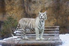 Άσπρη τίγρη της Βεγγάλης Στοκ εικόνα με δικαίωμα ελεύθερης χρήσης