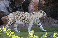 Άσπρη τίγρη Στοκ εικόνες με δικαίωμα ελεύθερης χρήσης