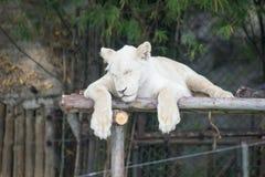 Άσπρη τίγρη Στοκ φωτογραφίες με δικαίωμα ελεύθερης χρήσης